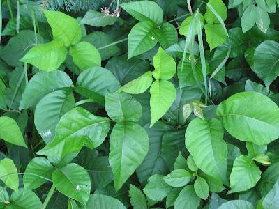 small poison oak rash. poison oak rash images. poison