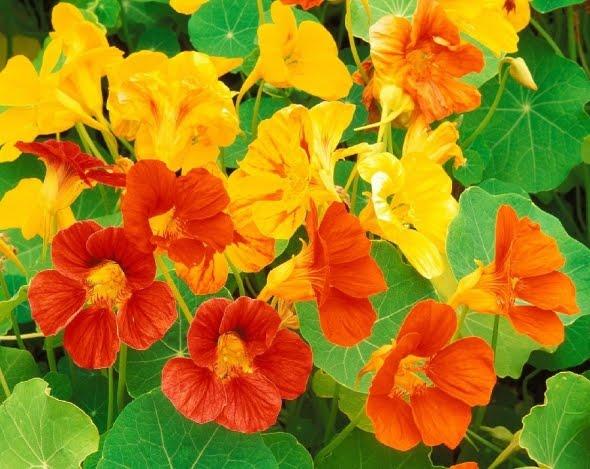 [FLOWERS_NASTURTIUM]
