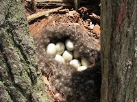 Eider Duck eggs in nest