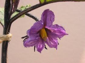 ナスの開花