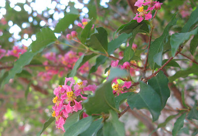 Divasofthedirt,barbados cherry blossoms