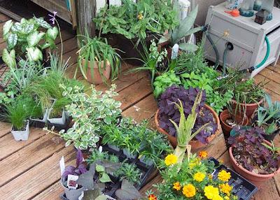 DivasoftheDirt, too many plants