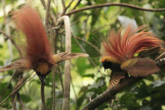 Rare Birds Of Paradise Rare Birds, Bea...