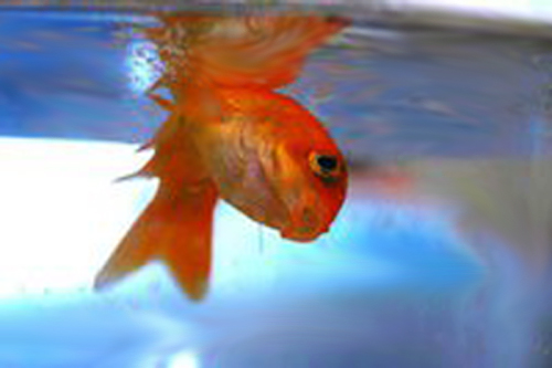 goldfish eggs pictures. hot goldfish eggs in tank.