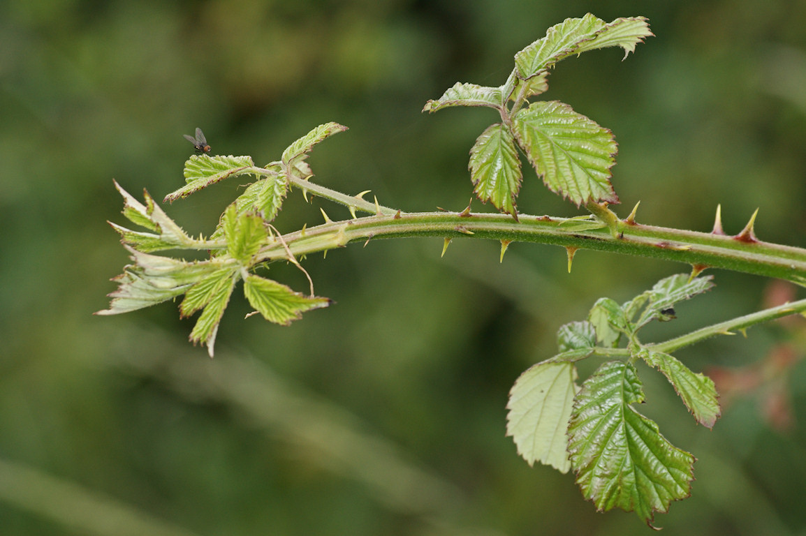Plant Blackberry Bushes