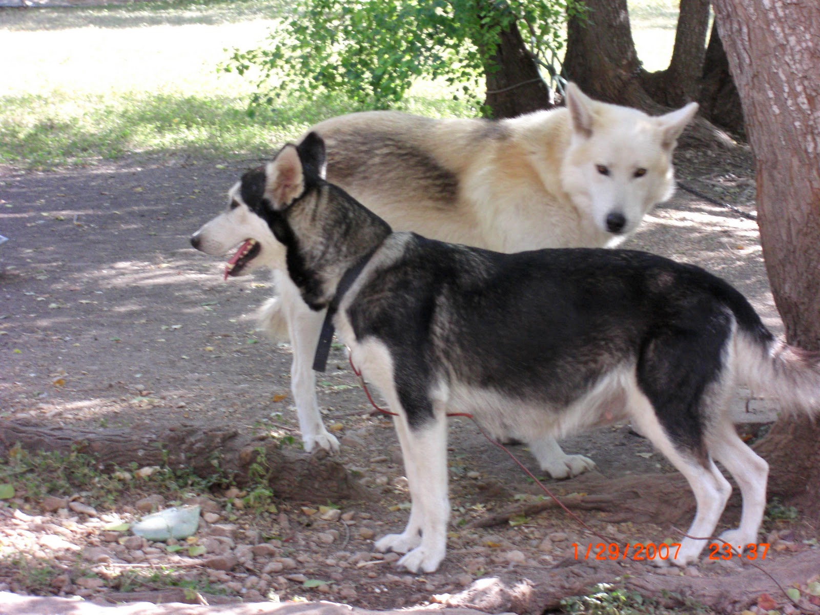 Wolf hybrid puppies for sale in ohio - Wolf Hybrid Puppies For Sale In Ohio 23