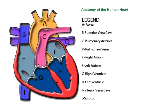 Parts of the heart labeled - 100.6KB