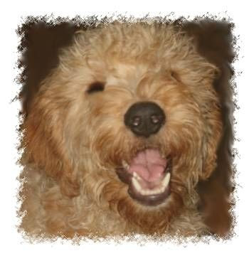 goldendoodle pictures. hair Beautiful F1 Goldendoodle