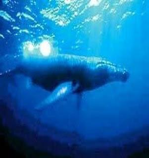 ikan paus biru, paus mamalia, hewan laut terbesar, makhluk dasar laut