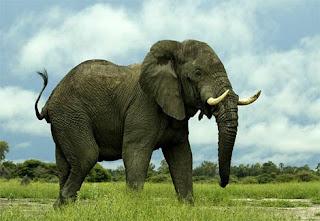 gajah afrika, hewan besar, hewan kuat