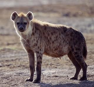 hyena, karnivora, hewan darat, binatang iseng