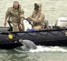 lumba-lumba, hewan air, perang