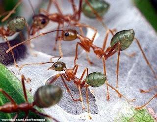 Sisi Lain Semut, Yang Dapat Mencium Aroma Kematian