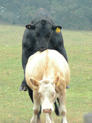 Bulls and Cows Mating Pictures http://forum.bodybuilding.com/showthread.php?t=141377781&page=1
