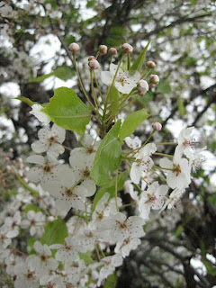 Pear Tree Flowers