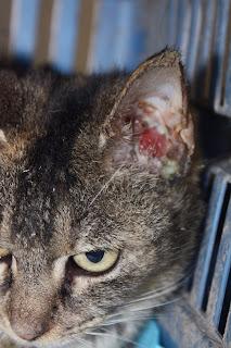 Benign Ear Tumors In Cats