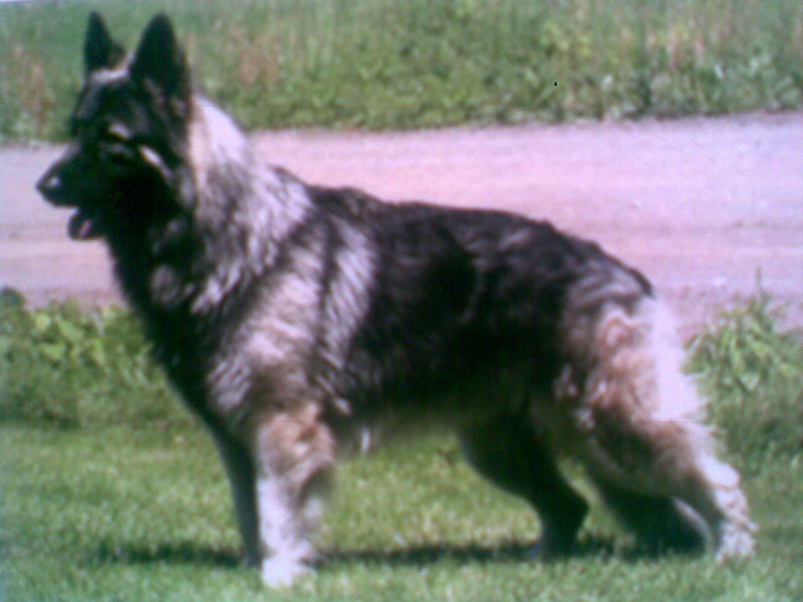 American Bulldog_Most Popular Dog in America