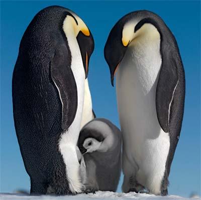 famila pinguino emperador
