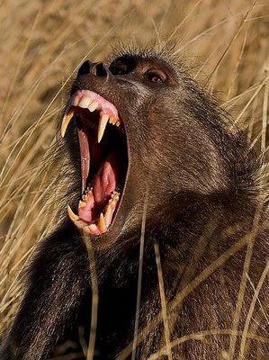 Chacma baboon - photo#27