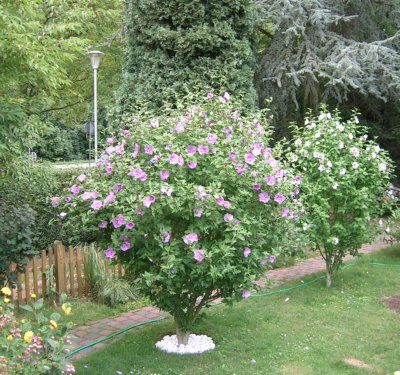sunshine design der hibiskus bl ht zur zeit wundersch n. Black Bedroom Furniture Sets. Home Design Ideas