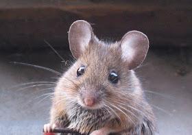 Tikus - www.jurukunci.net