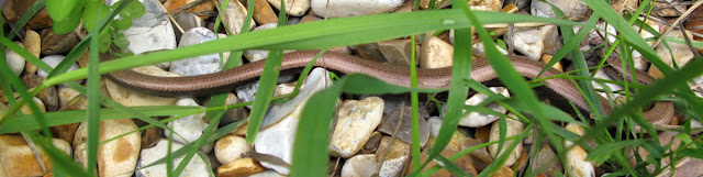 Slow worm on gravel, seen through grass.