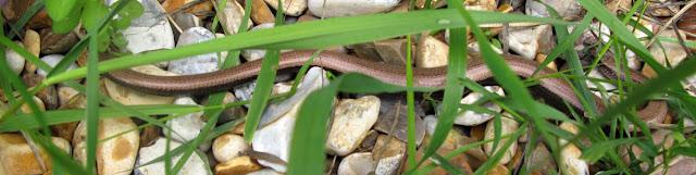 Slow worm on gravel, seen through grass.