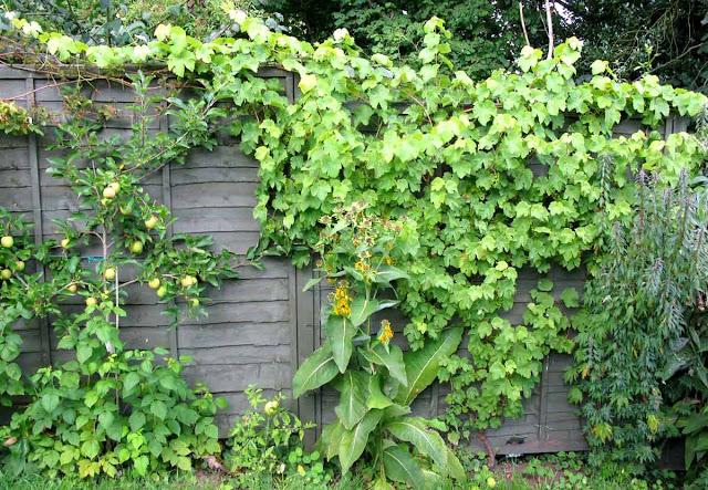 Grape vine growing on panel fence.