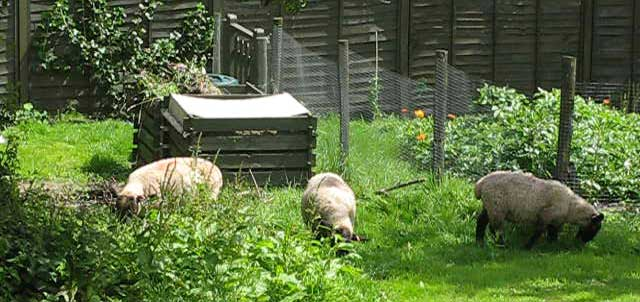 Three sheep in the garden.