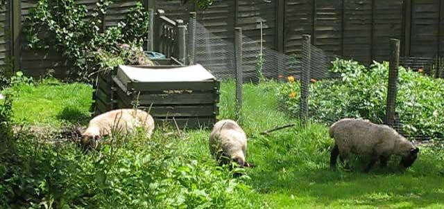 Three sheep in the garden.