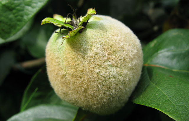 Quince fruit.