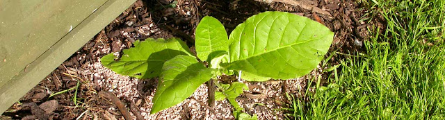 Young tobacco plant.