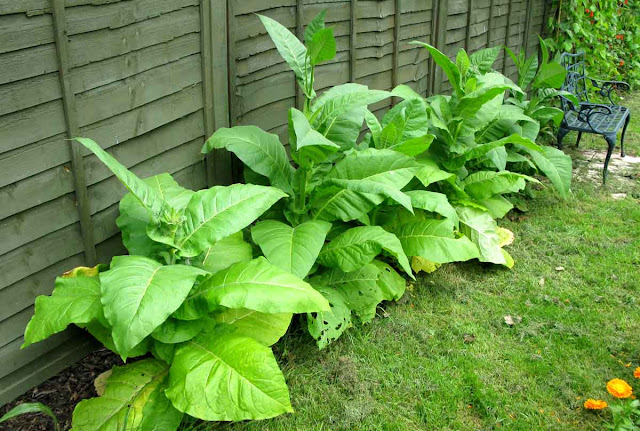 Row of tobacco plants.