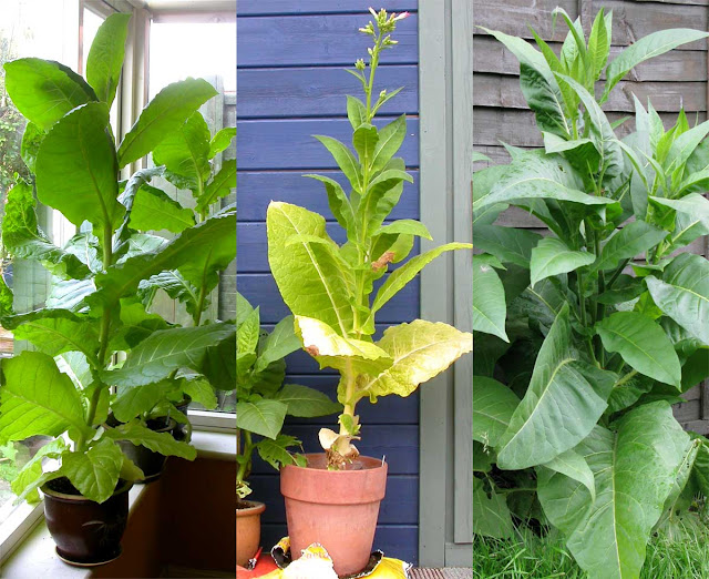 Tobacco plants in pots and in the ground.