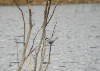 Whiskered Tern on Diddington Pit