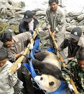Panda Xi Xi