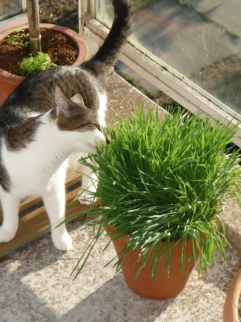 Herbe chat - Herbe a chat graine ...