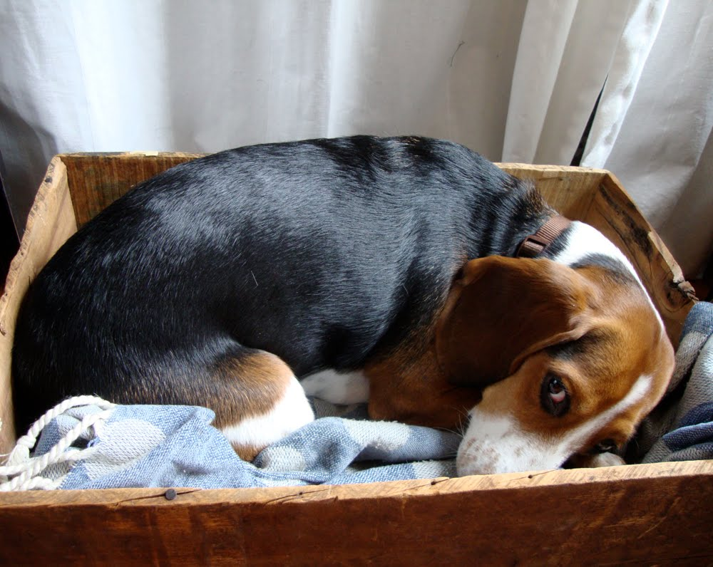 nest beagle in a box