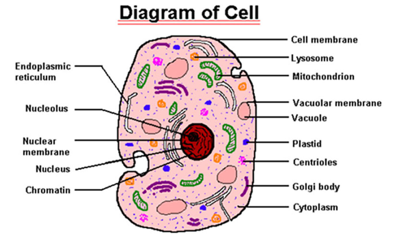 Various Parts of Animal Cell http://prashnotri.blogspot.com/