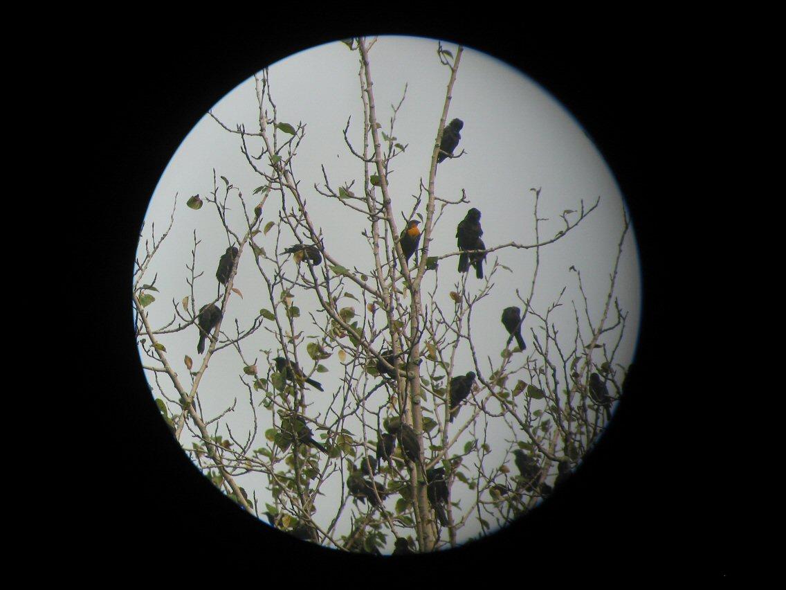 blackbirds bowl