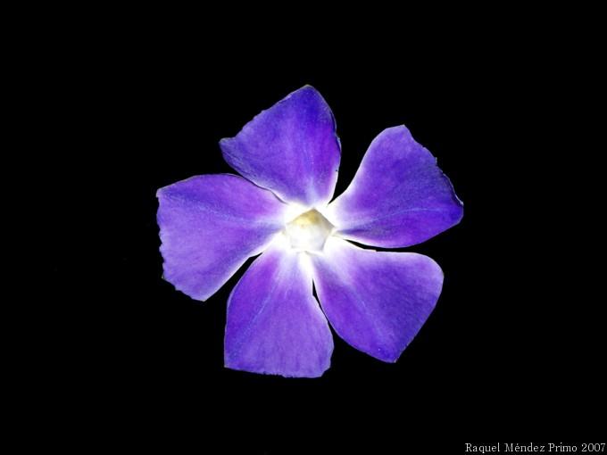 [Flor+de+hiedra.jpg]