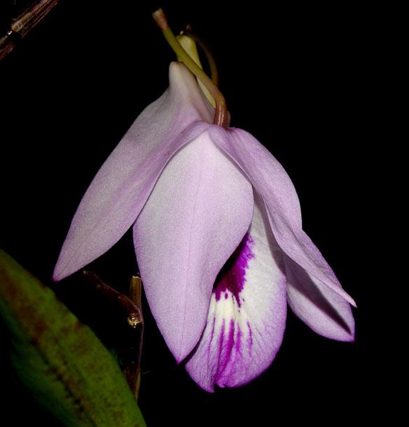Dendrobium maccarthiae