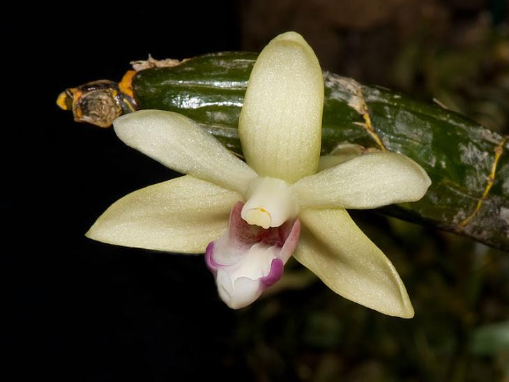 Dendrobium bicolense
