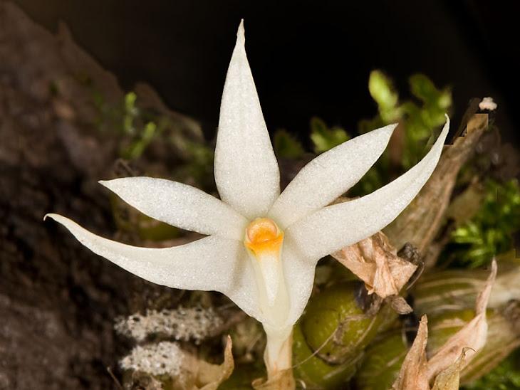 Dendrobium masarangense ssp.theionanthum