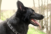 ♥ JINX - Our German Shepherd Watch Dog ♥