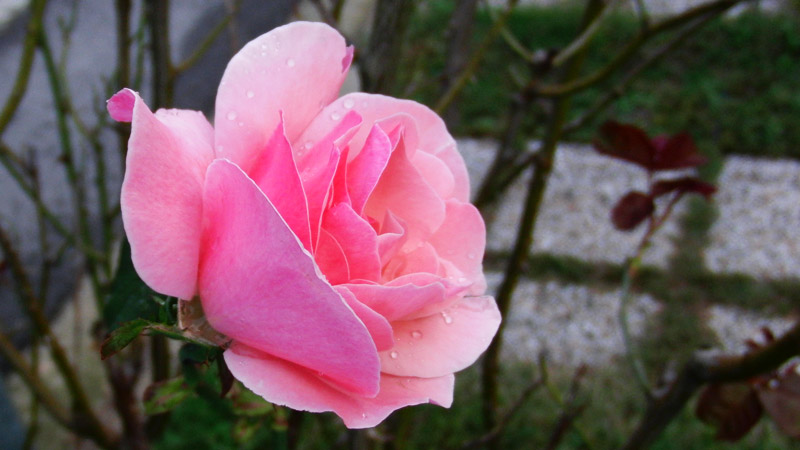 foto rosa goccia