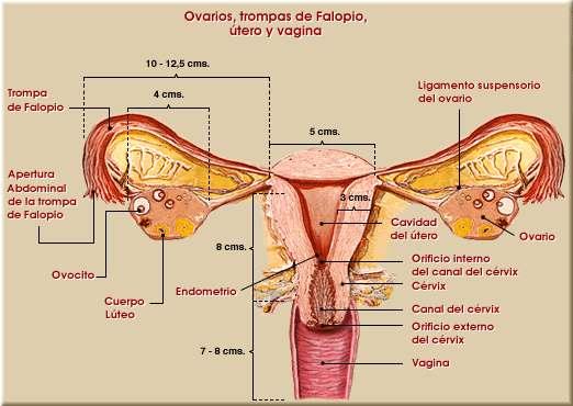 FERTILIDAD Y SEXUALIDAD HUMANA: ANATOMIA Y FISIOLOGIA DEL APARATO ...