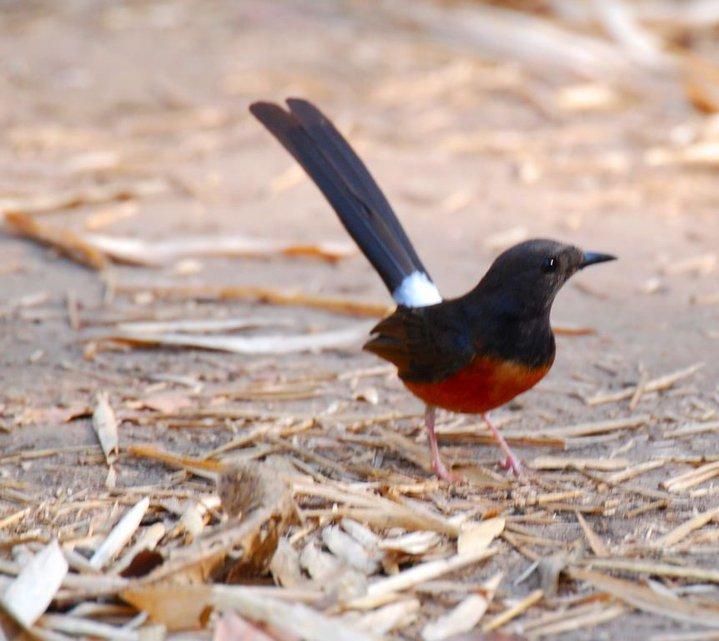 gambar burung murai gambar burung