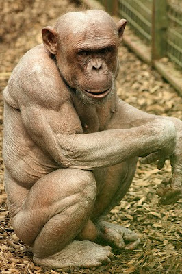 Hairless Chimps Pictures