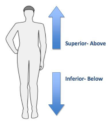 Definition of superior in anatomy